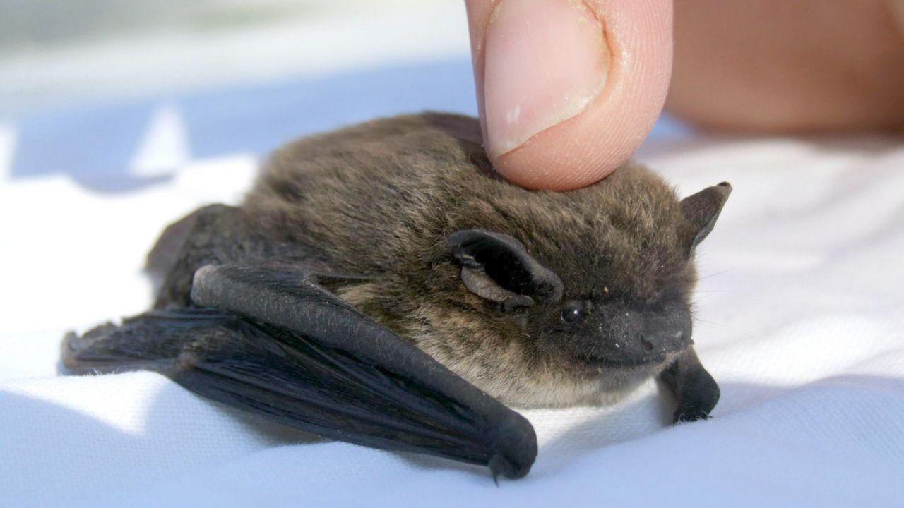 speciale Pipistrello: nemico o amico? L'importanza dell'animale spiegata in breve