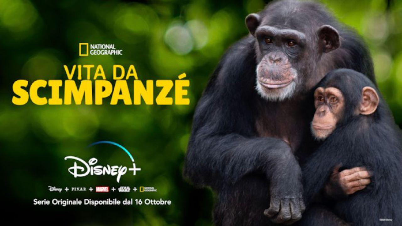 first look Vita da Scimpanzè: una nuova affascinante docuserie di Disney+!
