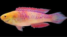 Cirrhilabrus Wakanda: la nuova specie di pesce dell'Universo Marvel scoperta in Zanzibar