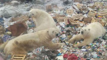 Video guarda il video di una città russa invasa da decine di orsi polari