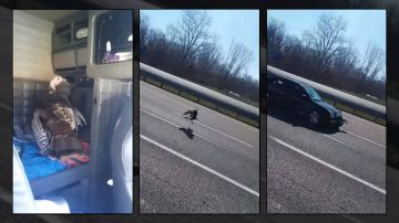 Video libera un tacchino in autostrada: il video dell'assurdo incidente