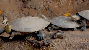 Video per sopravvivere in amazzonia le farfalle bevono le lacrime delle tartarughe