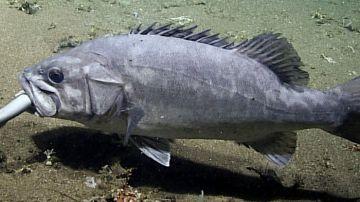 Video scienziati riescono a catturare il video di una cernia che mangia un piccolo squalo intero