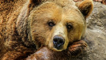 Video e' virale il video di un grizzly che esce dalla sua tana appena sveglio dal letargo
