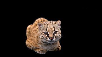 Video il miagolio di uno dei più piccoli gatti selvaggi del mondo vi lascerà senza parola