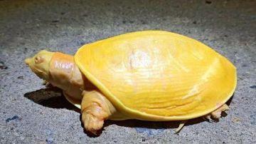 Video avete mai visto una tartaruga completamente gialla? ecco il video della rarissima creatura
