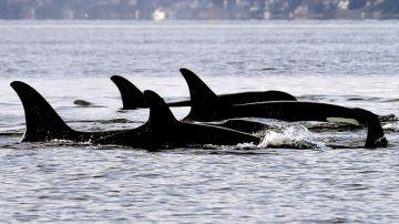 Video orche assassine attaccano numerose imbarcazioni nello stretto di gibilterra, il video