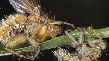 Video questi due parassiti, usciti dal peggior film horror, trasformano gli insetti in zombie