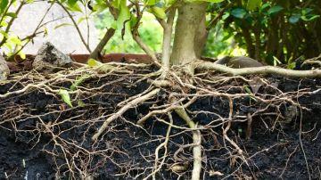 Video questo spettacolare time-lapse ci mostra la danza delle radici di una pianta
