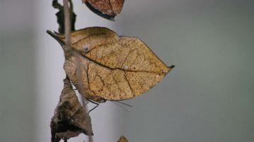 Video pensate che questa sia una foglia? guardate bene, è una farfalla!