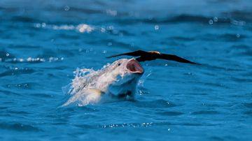 Video il video che ha scioccato gli scienziati: un pesce che si nutre di un uccellino