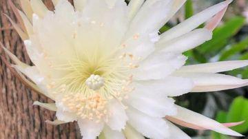 Video ecco il video unico della fioritura di un cactus che sboccia una volta all'anno