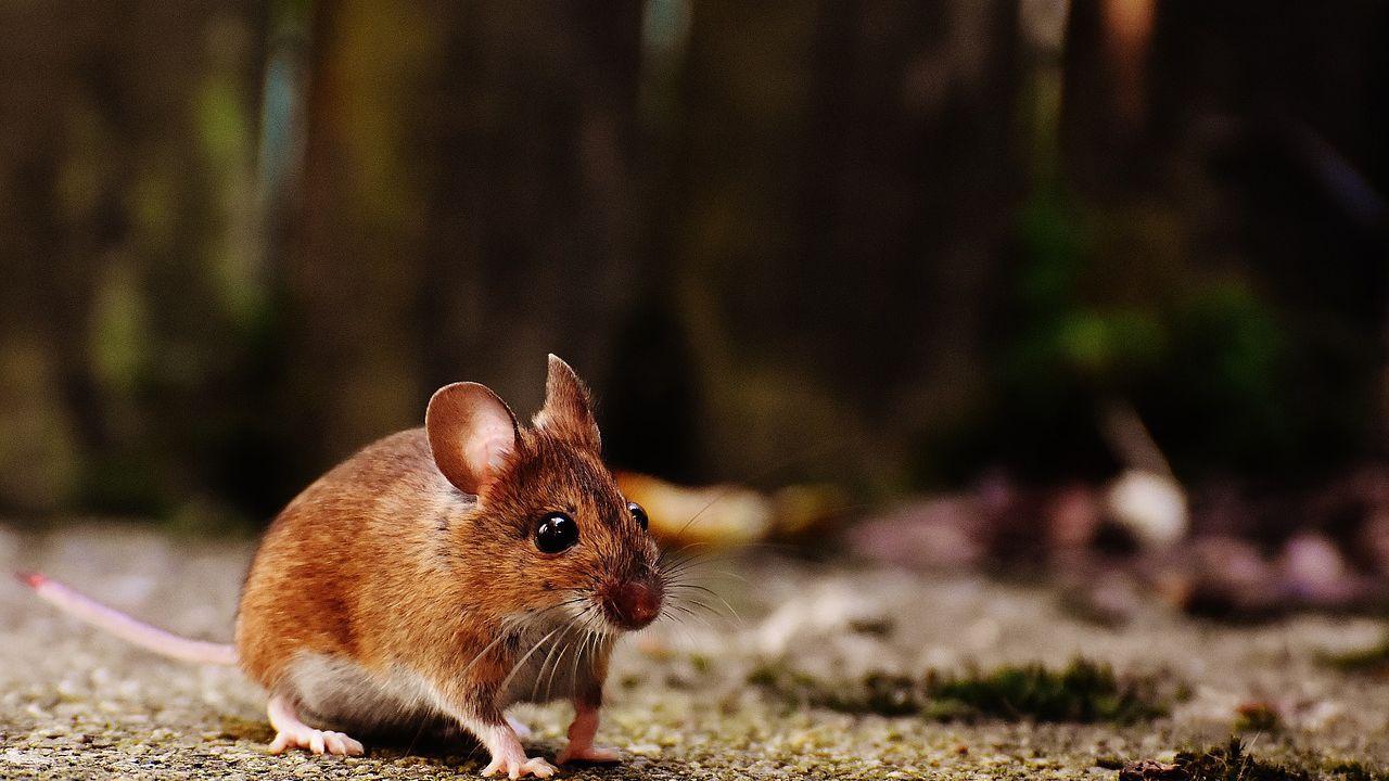 A quanto pare anche ai topi piace il... solletico!