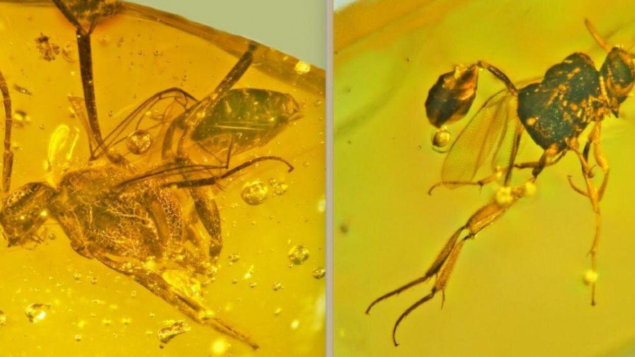 Alla scoperta della vespa che si nutre di scarafaggi rimasta nell'ambra 25 milioni di anni