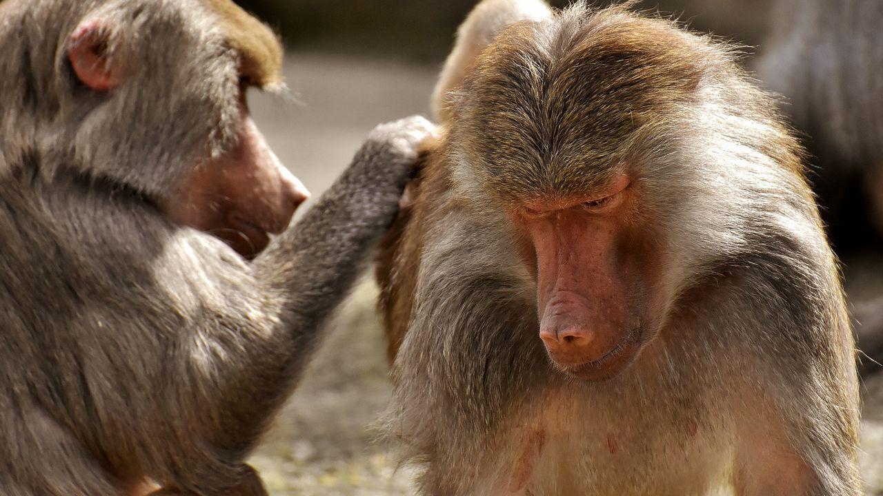 Anche per i babbuini l'amicizia tra maschi e femmine è importante