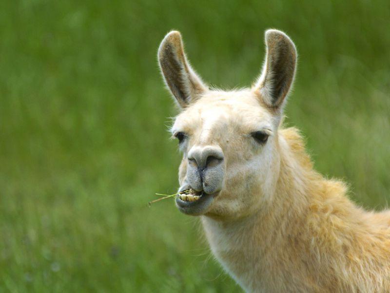 Anticorpi dei lama potrebbero aiutarci a sconfiggere COVID-19, secondo studio