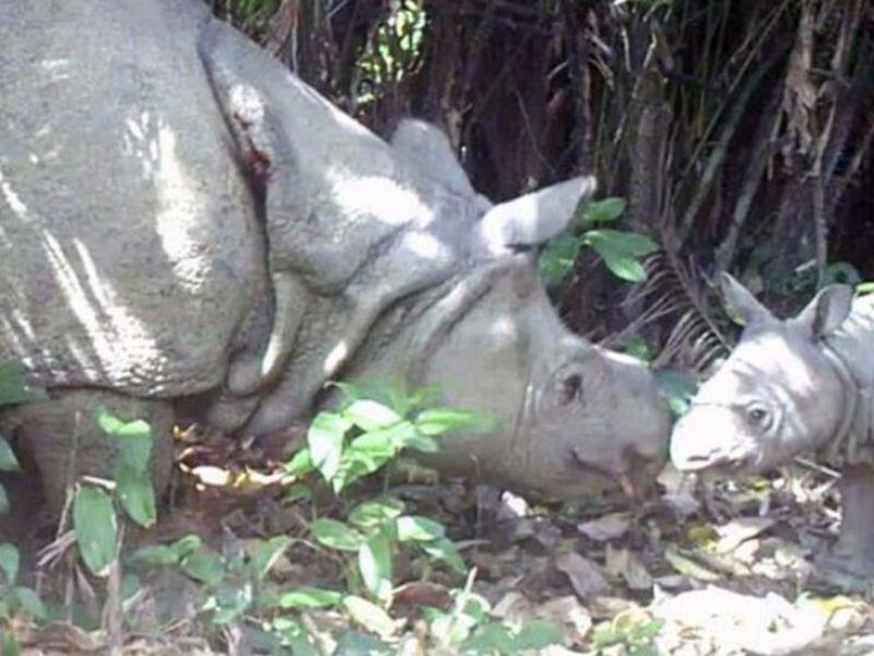 Avvistati due nuovi cuccioli del rarissimo rinoceronte di Giava