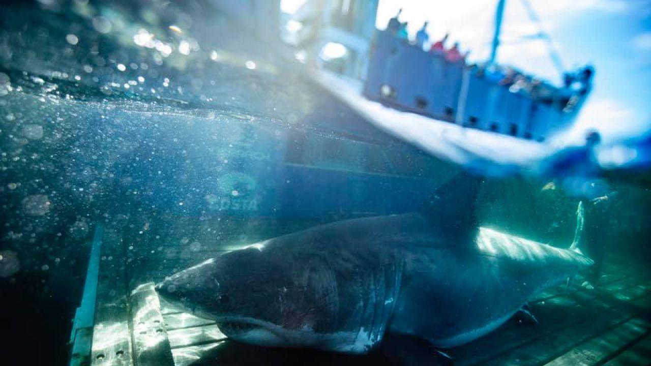 Avvistato a Miami uno dei più grandi squali bianchi mai documentati