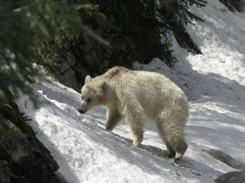 Avvistato un rarissimo e spettacolare esemplare di Orso grizzly bianco