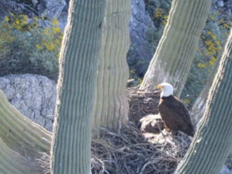 Buone notizie: le aquile calve in Arizona sembrano essere tornate a nidificare sui cactus