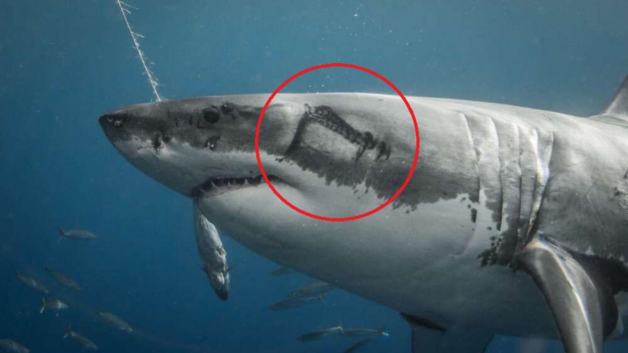 Calamari giganti stanno lasciando delle grandi cicatrici sui Squali Bianchi in Messico