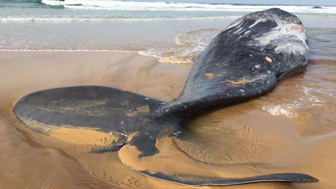 Capodoglio spiaggiato mostra cicatrici di una lotta contro un calamaro gigante