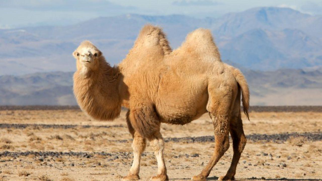 Cosa c'è davvero all'interno delle gobbe dei cammelli?