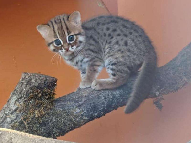 Cuccioli di gatti selvatici più piccoli del mondo nati nel Regno Unito