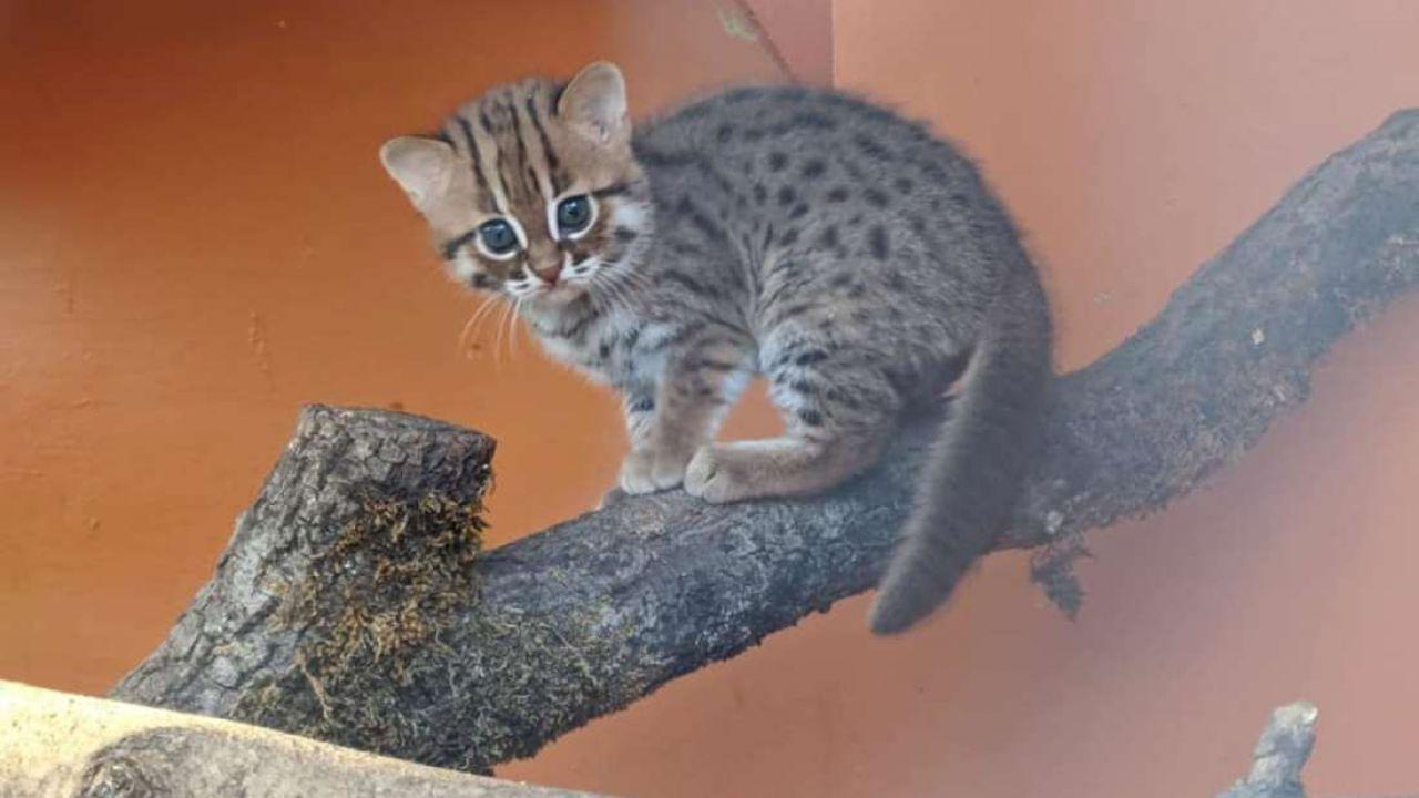 Eccezionale Cuccioli di gatti selvatici più piccoli del mondo nati nel Regno Unito VL28