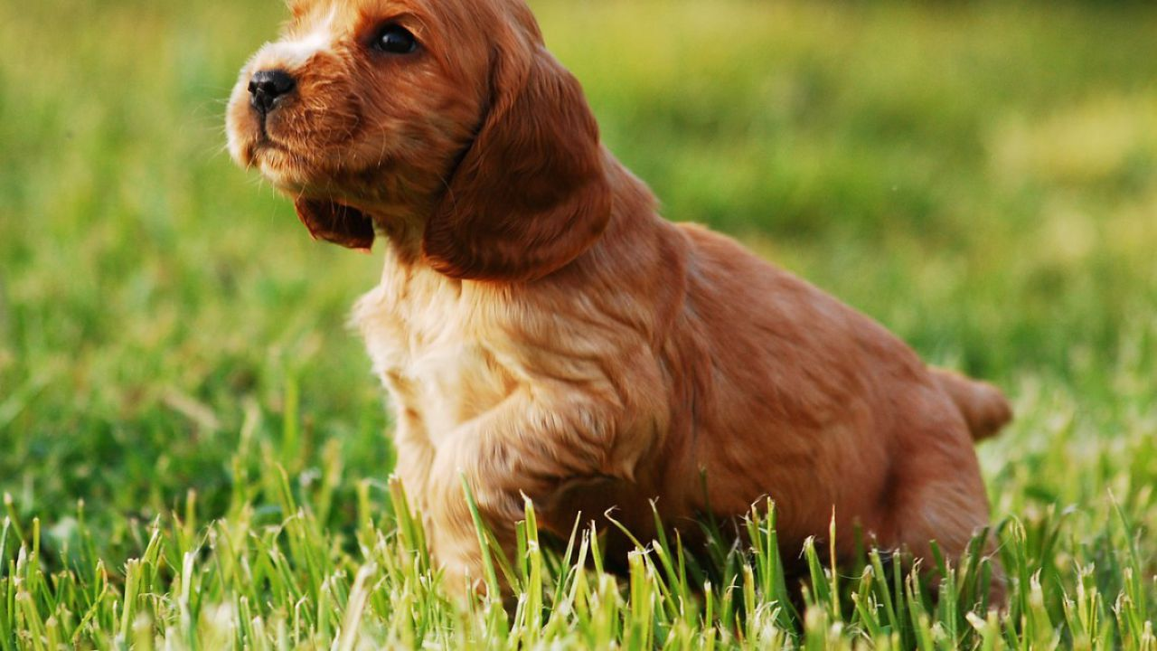 Da dove deriva il termine 'pedigree' per gli animali di razza