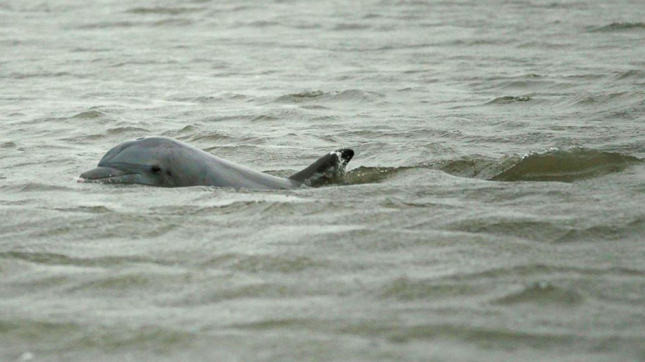 Decenni dopo il più grande disastro ecologico della storia, i delfini soffrono ancora