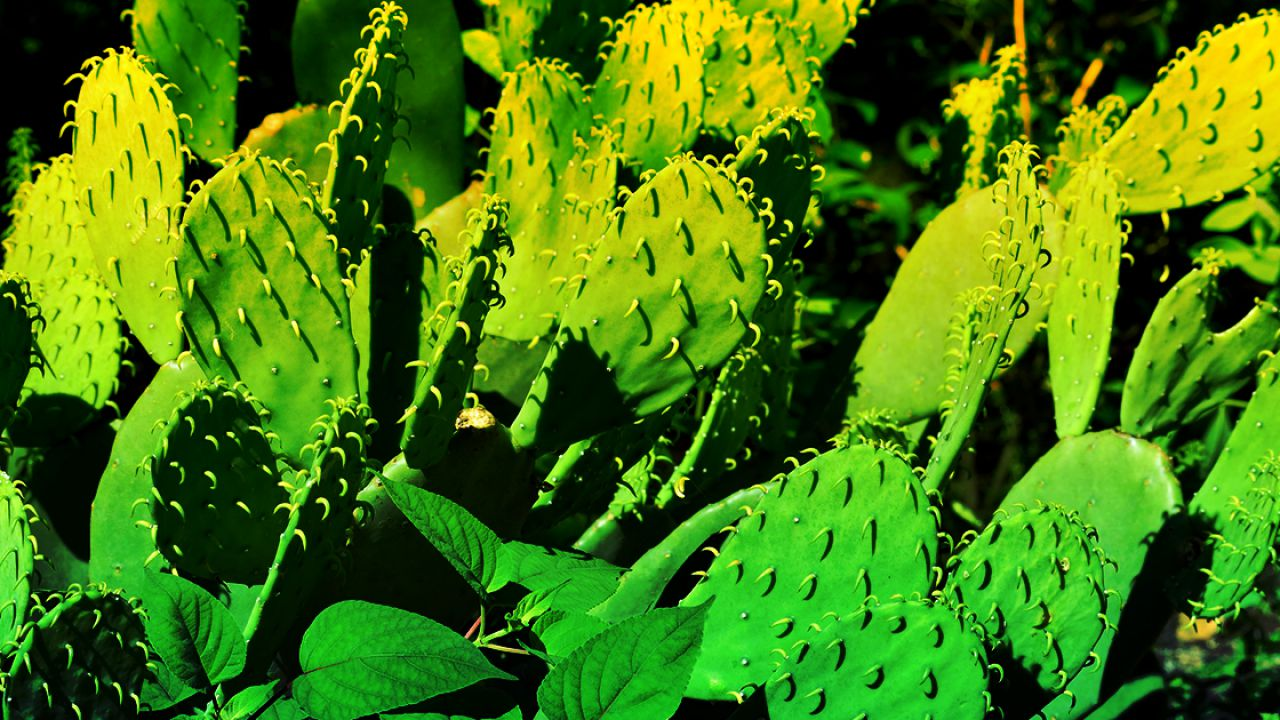 È stata creata una plastica biodegradabile utilizzando la linfa dei cactus