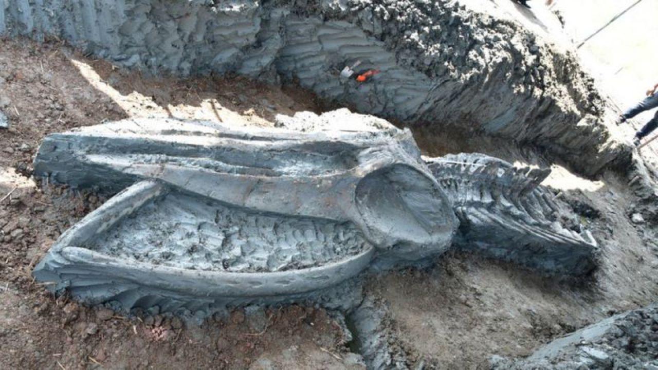È stato trovato uno scheletro molto raro di balena in Thailandia