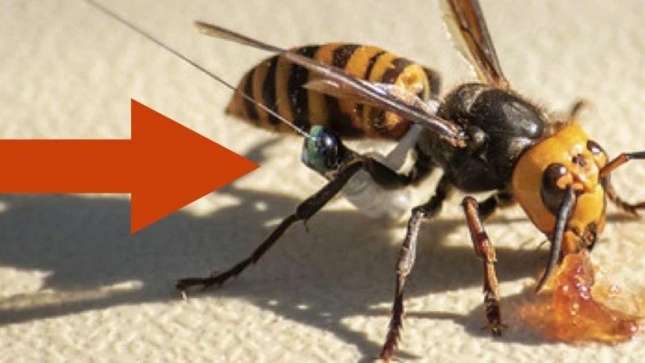 Ecco il geniale trucco utilizzato per infiltrarsi nei nidi dei calabroni assassini