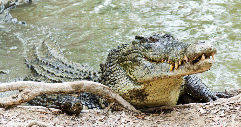 Ecco Gustave, il famigerato coccodrillo che potrebbe aver ucciso 300 persone