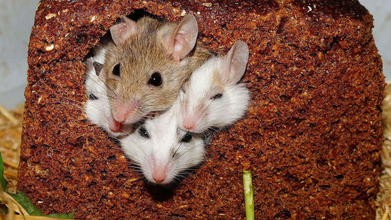 Ecco l'IA in grado di riconoscere le emozioni di alcuni topolini dalle loro espressioni