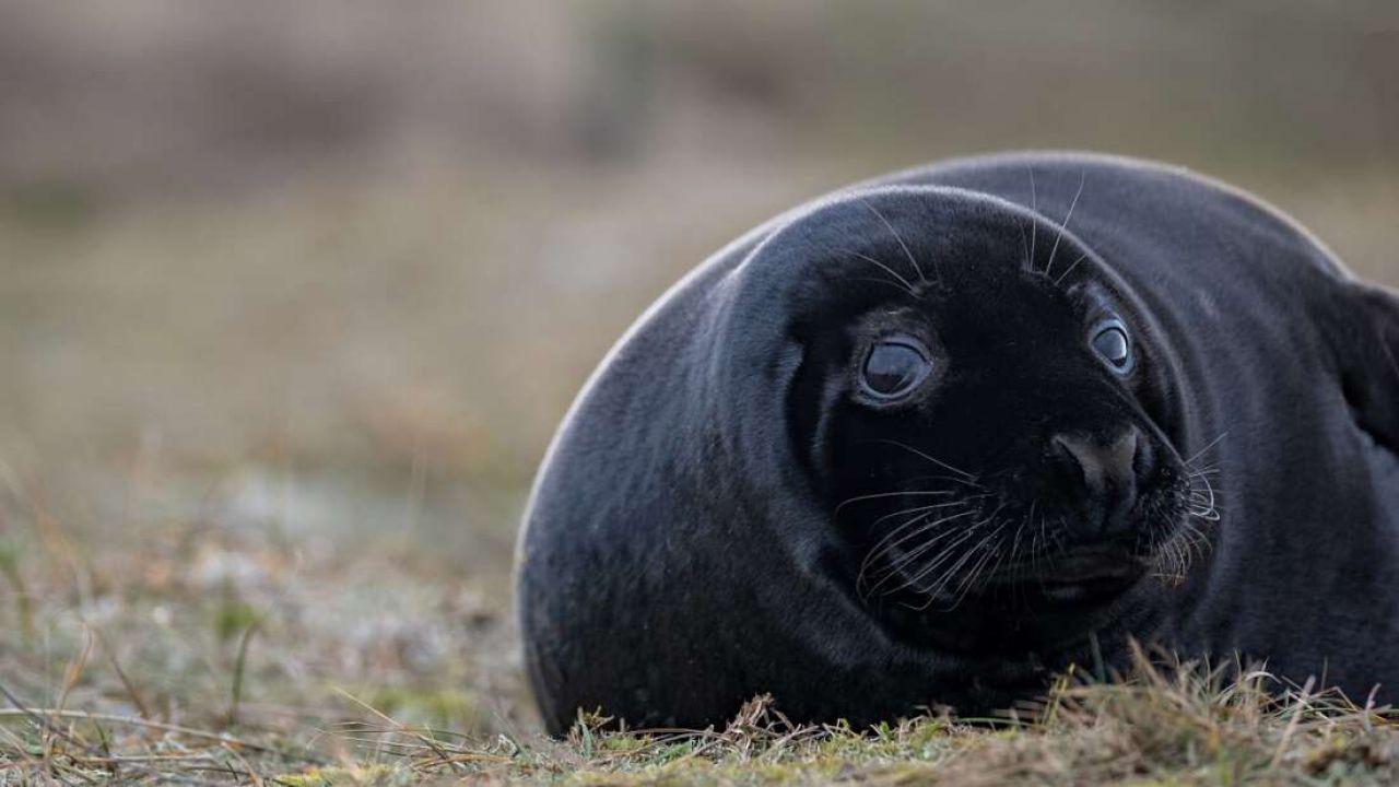 Ecco le rare immagini di una foca con un eccesso di melanismo