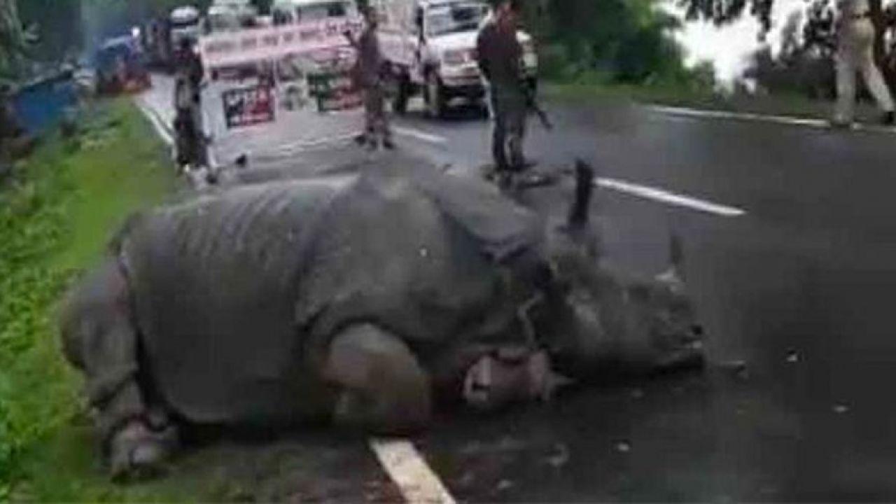 Ecco il video diventato virale di un rinoceronte che si è appisolato in mezzo alla strada