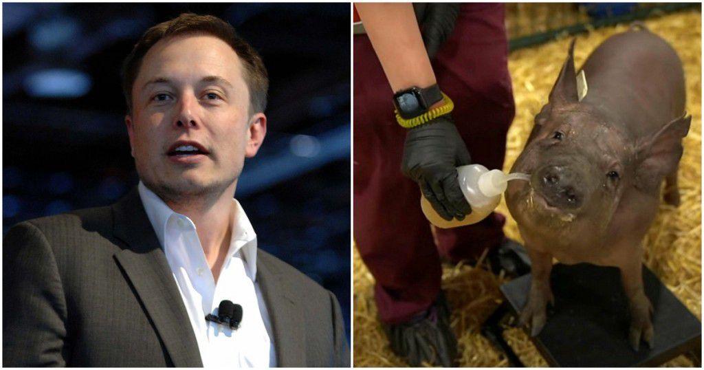 Elon Musk è stato pesantemente criticato per aver testato Neuralink sui maiali