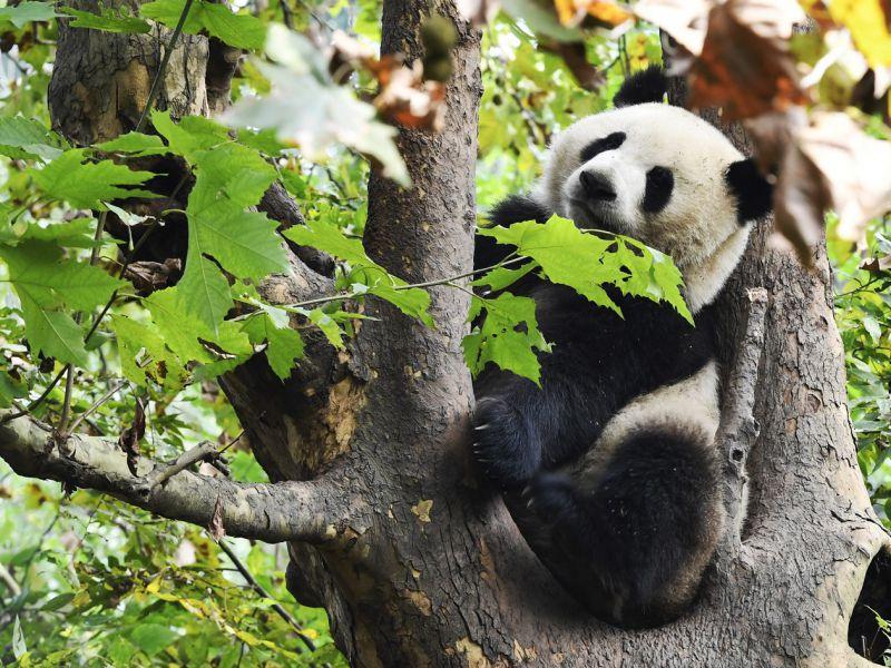Filmato per la prima volta il corteggiamento tra due panda giganti