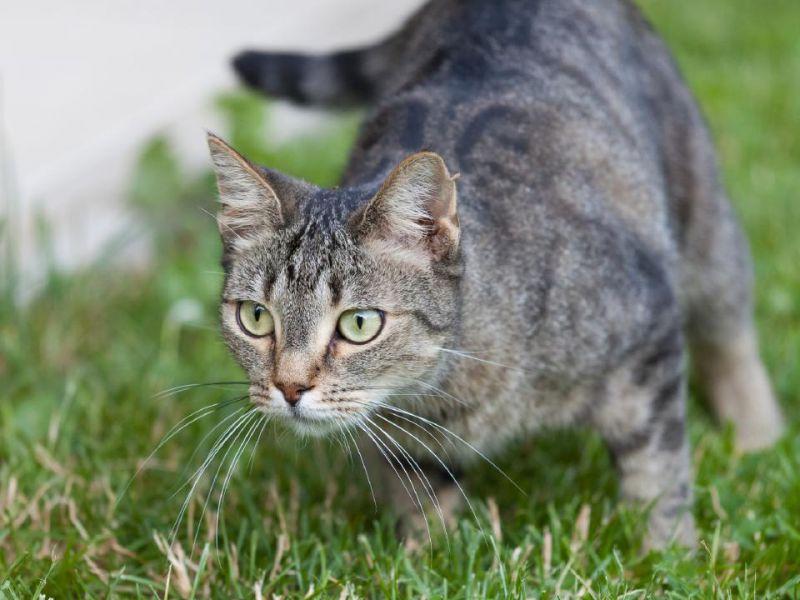 I gatti domestici possono essere degli spietati killer di animali selvaggi