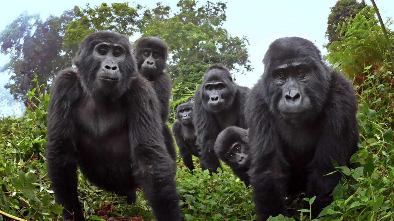 I legami sociali dei gorilla sono incredibilmente simili a quelli degli umani