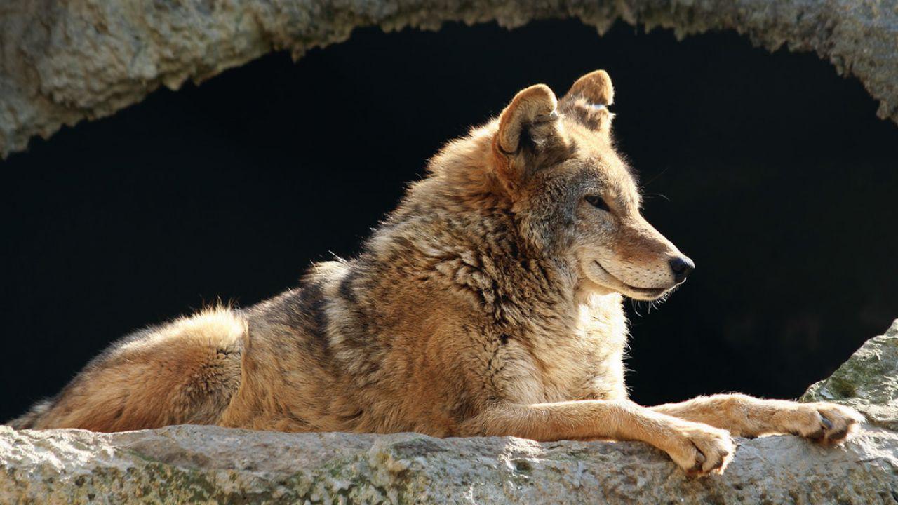 I primi cani furono addomesticati probabilmente durante l'era glaciale
