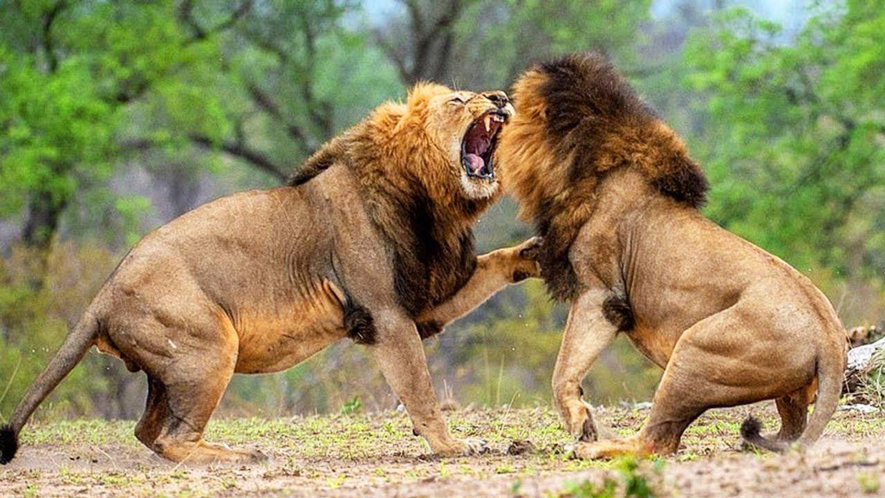 Il Cerchio della Vita del Re Leone è più brutale di quanto la Disney voglia farvi credere