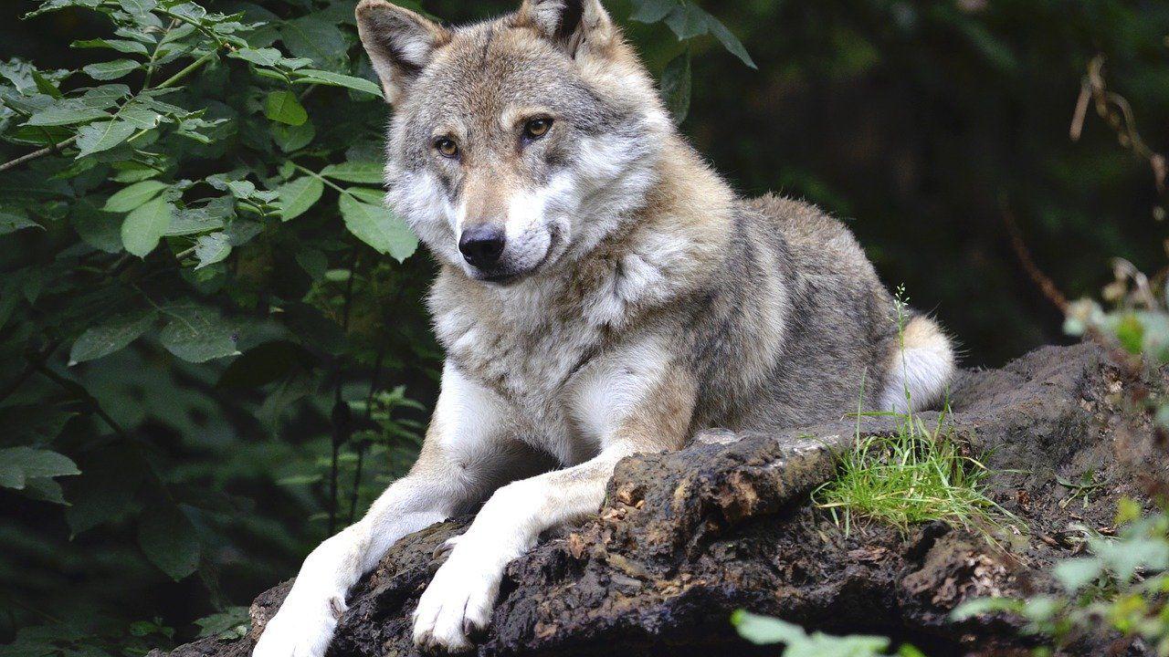 Il legame tra cani e uomini arriva da lontano e si riscontra anche tra i moderni lupi