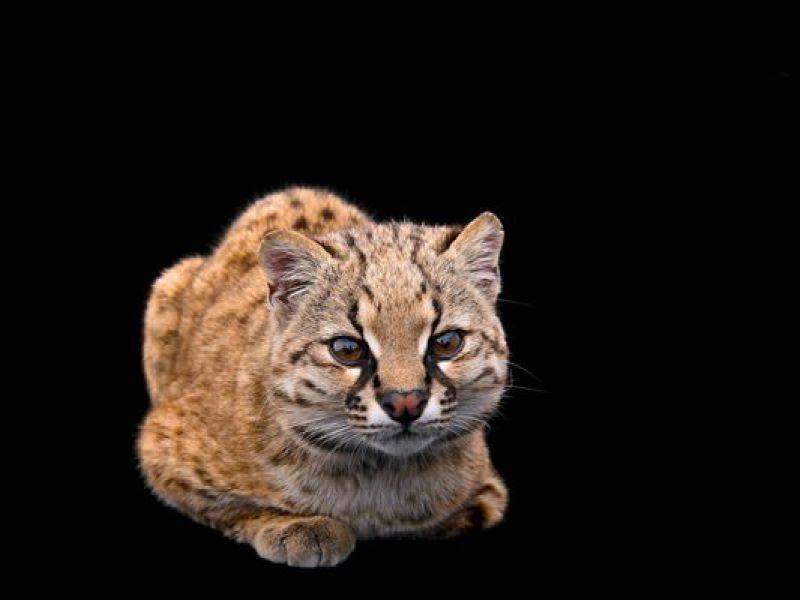 Il miagolio di uno dei più piccoli gatti selvaggi del mondo vi lascerà senza parola