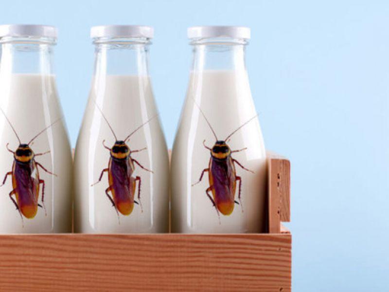 Il super-cibo del futuro? Latte di scarafaggio, 4 volte più nutriente di quello di mucca