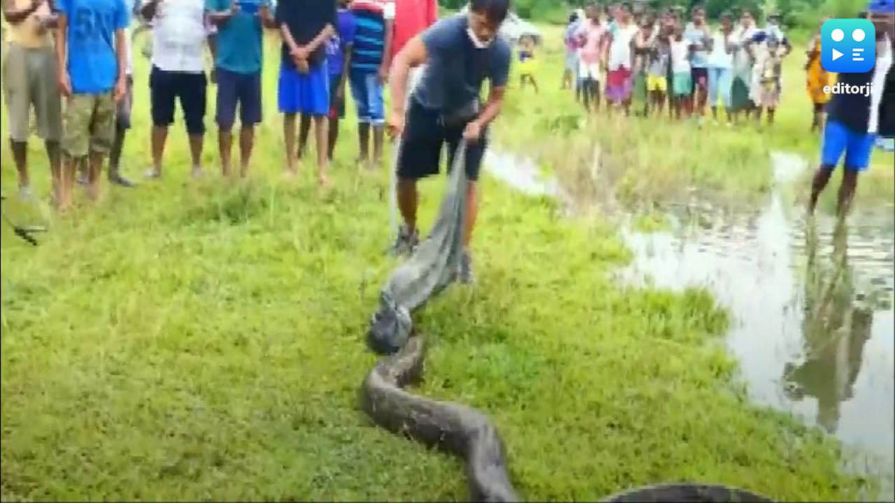 Il video della cattura di un gigantesco e spaventoso pitone: lungo 5 m e dal peso di 40 kg