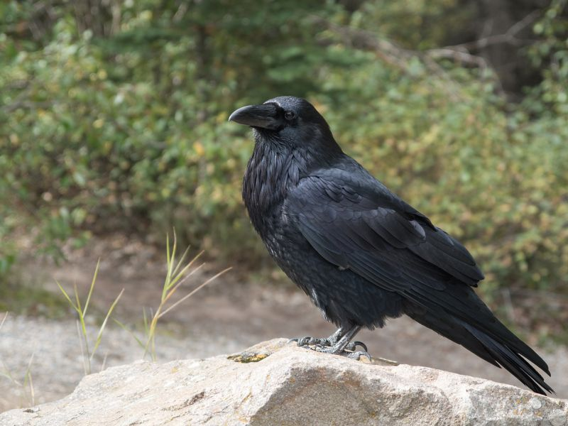 La durata delle cure parentali è il segreto della grande intelligenza di questi uccelli