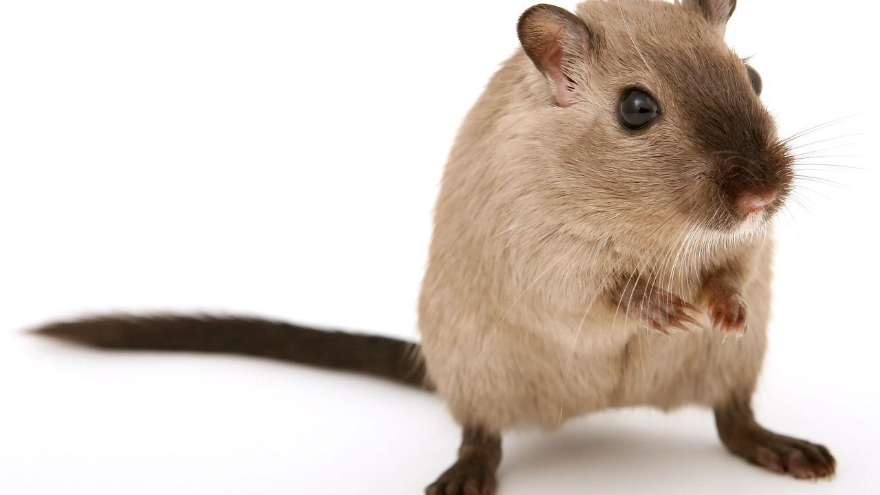 La personalità dei topi svelata attraverso un algoritmo matematico